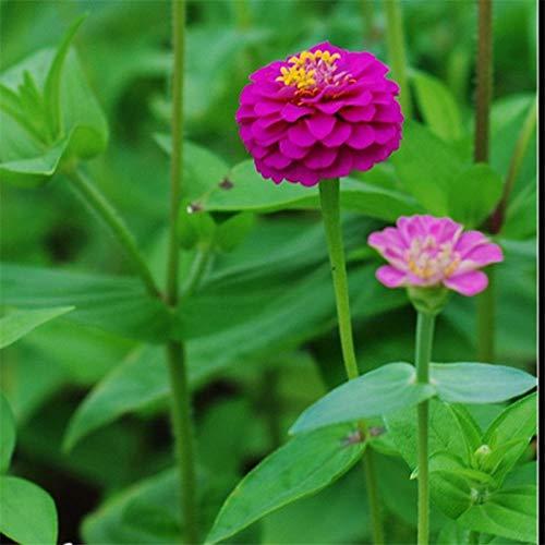 Zinnia Samen Zierblumensamen Vier Jahreszeiten Pflanzen Balkon Topf Garten Zinnia Samen 300g
