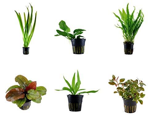 Tropica Einsteiger Set mit 6 einfachen Topf Pflanzen Aquariumpflanzenset Nr.29 Wasserpflanzen Aquarium Aquariumpflanzen