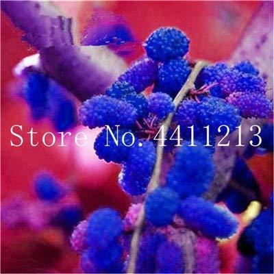 Bloom Green Co. Gran Promociã³n !!!20 Piezas Negro Morera Bonsai Morus Nigra Ãrbol Jardãn Arbusto Jardãn de casa DIY: 11