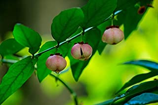 10 Seeds Katuk Plant- Sauropus androgynus - Tropical Plant-Star Gooseberry- Sweet Leaf Plant Seed Sale by yunakesa