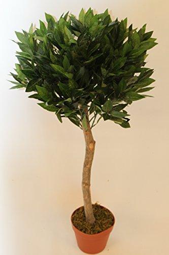 SET aus 2 Lorbeerpflanzen - Echter Lorbeer, Halbstamm - 90 cm hoch.