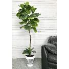 Latitude Run Fiddle-Leaf Fig Floor Palm Tree in Pot & Reviews | Wayfair