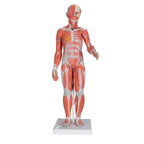 3B Scientific B55 Figura Completa de Doble Sexo Con Músculos, Con Órganos Internos, Desmontable en 33 Piezas - 3B Smart Anatomy
