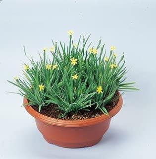 Sisyrinchium californicum Yellowstone 1,000 seeds