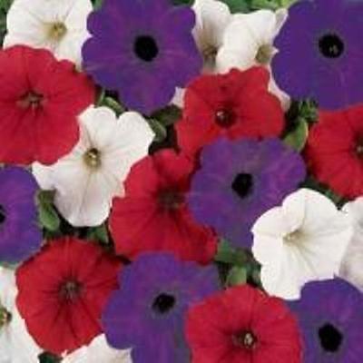 20 graines vague Petunia blanc rouge et bleu
