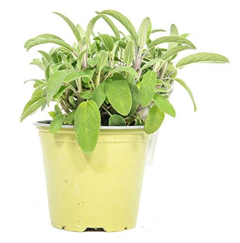 mgc24 Echter Salbei, echte frische Kräuter Pflanzen im 14cm Topf, Salvia officinalis, Höhe ca. 15cm