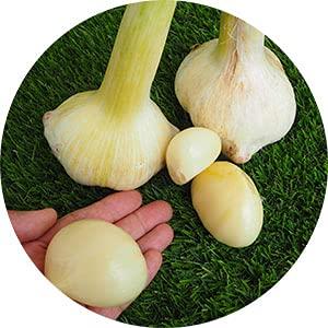 丹波ジャンボにんにく バラ売り特価 国産無農薬・有機肥料で栽培 1kg Y-12