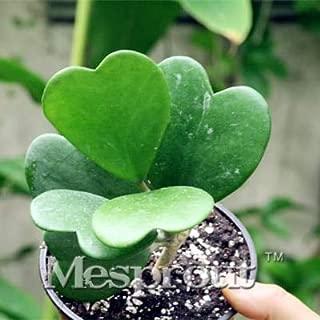 Flower Bonsai Hoya Kerrii Bonsai (December Orchid) Family Bonsai Garden Supplies 100PCS / Bag - (Color: Plum)