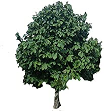 Best paw paw tree for sale Reviews