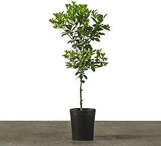 Best indoor lemon tree for sale Reviews