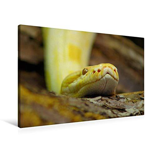 Premium Textil-Leinwand 90 x 60 cm Quer-Format Albinopython (Pythonidae) | Wandbild, HD-Bild auf Keilrahmen, Fertigbild auf hochwertigem Vlies, Leinwanddruck von kattobello