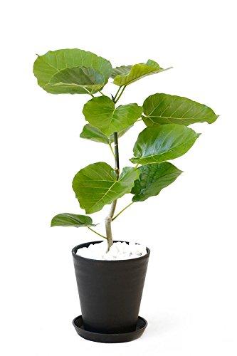 【セラアート鉢】選べる観葉植物 6号鉢 (フィカス・ウンベラータ, ブラック)