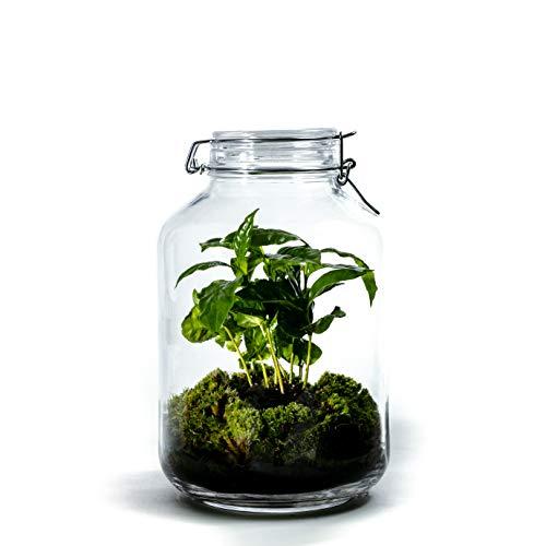 DIY Öko Flaschengarten von Botanicly: Jar Groß – Coffea arabica (Höhe: ca. 30 cm, Breite: ca. 17 cm)