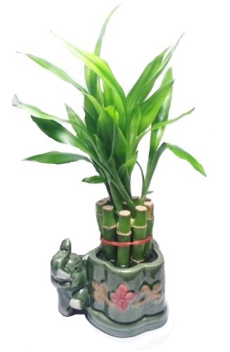 Lucky Bamboo Plant - 10 Stalks