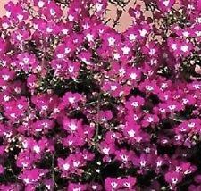 50+ Lobelia Regatta Rose Graines de fleurs/annuelle
