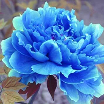 Elwyn 20 Double Light Blue Peony Tree Seeds