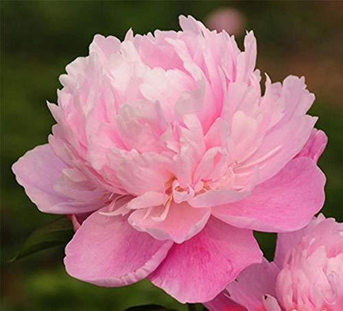 XINDUO Fleurs Sauvages en mélange Graines,Graines de Fleurs de Plusieurs Plantes de Pivoine-A4_30 Capsules,arôme épanoui graines