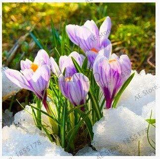 RETS New 2018 20PC Safran Pflanzen, Safran Blume Plantas, Safrankrokus Sämling, Garten Blumen Pflanzen, Bonsai Plante Anlage für ho: 13