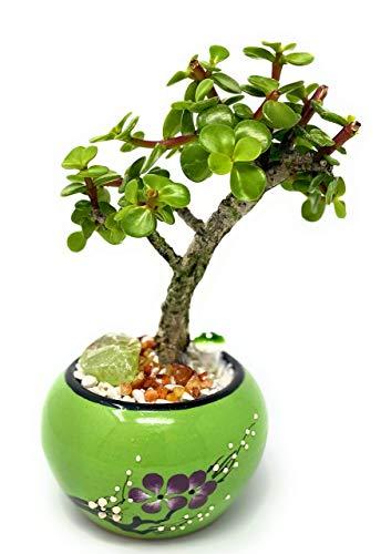 Live Dwarf Jade Plant Mini Bonsai Tree with Ceramic Base, Decorative Rocks & Healing Crystals - Florida-Grown Jade Bonsai Tree Indoor Decor (Green)