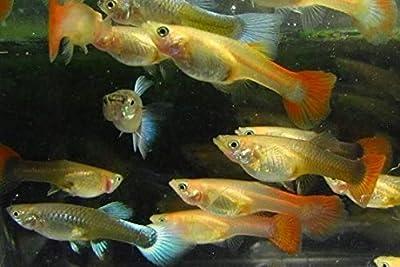 5 Assorted Color Female Guppies Live Freshwater Aquarium Fish