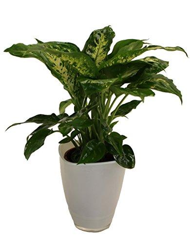 Dieffenbachia mit Dekotopf, weiß, Zimmerpflanzen