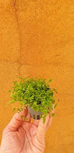 Planta de acuario tapizante Micranthemum montecarlo