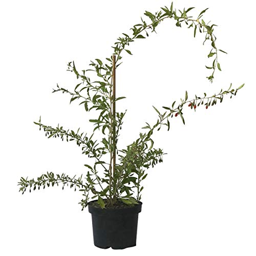 Müllers Grüner Garten Shop Goji ® Sorte Sweet Lifeberry sehr gesund und süß, ca. 40-60 cm im 3 Liter Topf