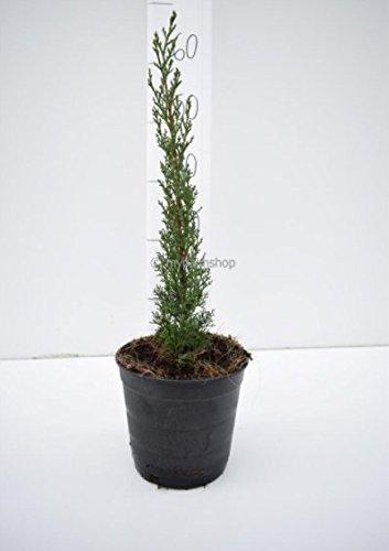 Säulenzypresse - Cupressus Sempervirens - verschiedene Größen (80-1000cm - Ø 18cm - 3 Ltr)