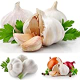 CANHOT Seeds - 100pcs/ Bag Giant Garlic Seeds Organic Seed Garlic Garlic Vegetable Seeds Fresh Seeds