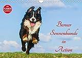 Berner Sennenhunde in Action (Wandkalender 2020 DIN A4 quer)