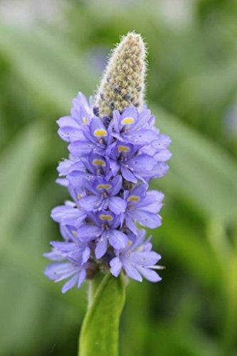 Wasserpflanzen Wolff - Pontederia lanceolata - Lanzettblättriges Hechtkraut - Riesenhechtkraut, blau