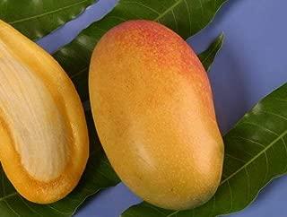 NAM DOC MAI Mango Tree - 1 Year Old