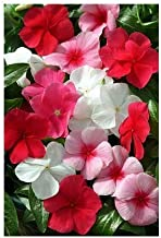 Seeds Vinca Mediterranean XP Lipstick Mix Get 1000 Fresh Seeds Easy Grow AB008