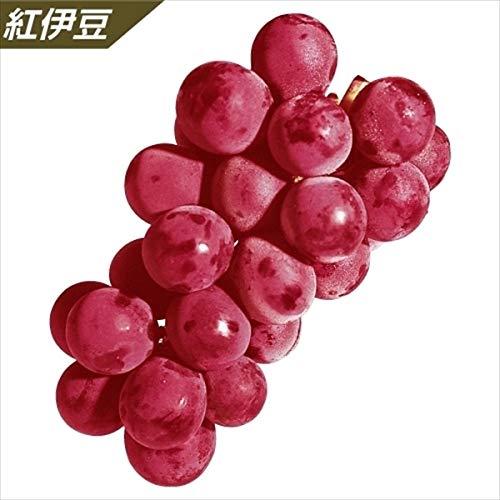 国華園 果樹苗 ブドウ 紅伊豆挿木苗 1株