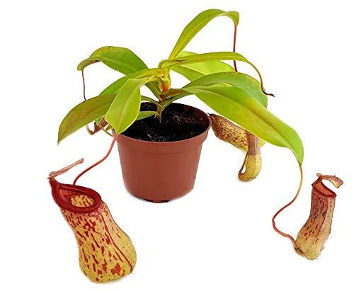 Fangblatt - Nepenthes St. Pacificus (x ventricosa x insignis) - bauchige Kannenpflanze - faszinierende fleischfressende Pflanze - Karnivore