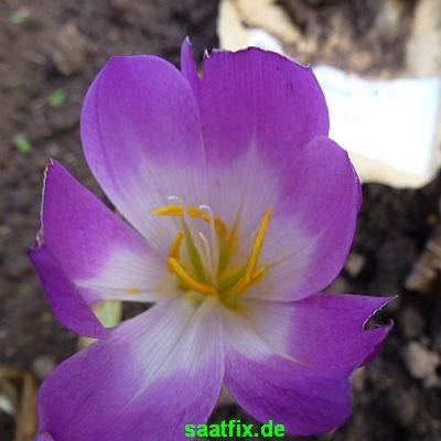 Blumenzwiebeln Herbstzeitlosenzwiebeln Herbstzeitlose Dick Trotter Colchicum (3 Zwiebeln)