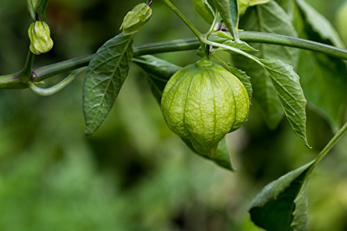 Tomatillo Physalis ixocarpa 20 Samen