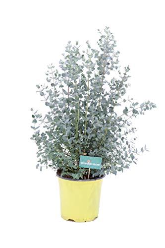 Pianta di Eucalipto o Eucalyptus Gunnii Pianta da esterno Pianta in vaso da giardino Pianta profumata Pianta da terrazzo Pianta vera di Eucalipto venduta da eGarden.store (Eucalipto vaso 17cm)