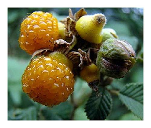 Rubus ellipticus - Framboise jaune de l Himalaya - 10 graines