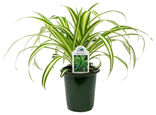 Dutch Country Classics Live Spider Plant - 4' Pot (1)