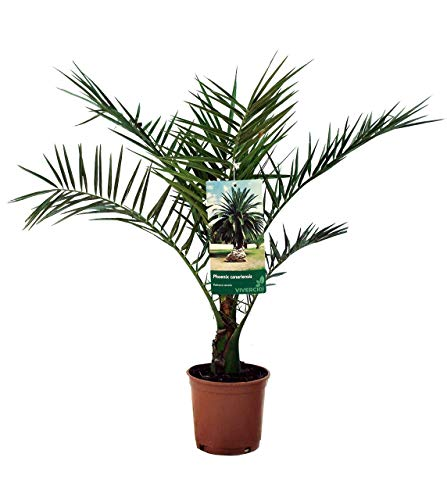 Plantas de interior de Botanicly – 2 × Palmera Canaria – Altura: 70 cm – Phoenix Canariensis