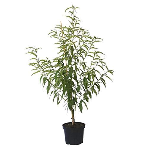 Müllers Grüner Garten Shop Pfirsichbaum Amsden, robuster Pfirsich Buschbaum ca. 120-150 cm im 10 Liter Topf, Unterlage Prunus pumila