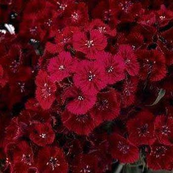 Outsidepride Dianthus - Dunetti