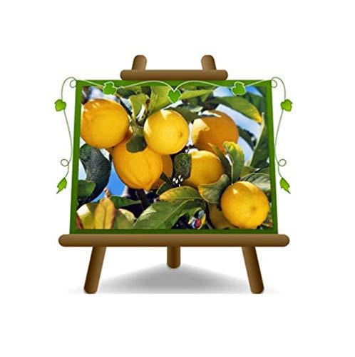 Citron Citron - Citrus Limon - Sapling - Plante sur un pot de 22 - Arbre max 95 cm