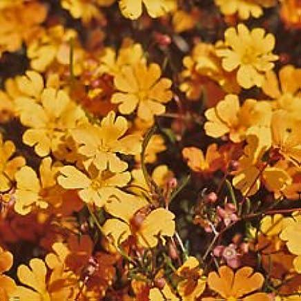 Hibbertia stellaris Orange Stars Advanced Native Plant in 75mm Pot