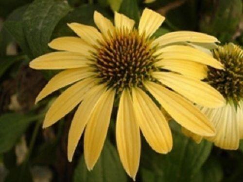 20+ jaune Echinacea échinacée/Graines de fleurs vivaces