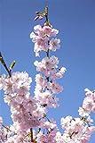 Frühe Zierkirsche Prunus subhirtella 'Accolade' im Topf gewachsen ca. 60-100cm