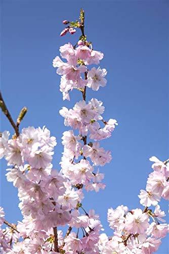 Frühe Zierkirsche Prunus subhirtella \'Accolade\' im Topf gewachsen ca. 60-100cm