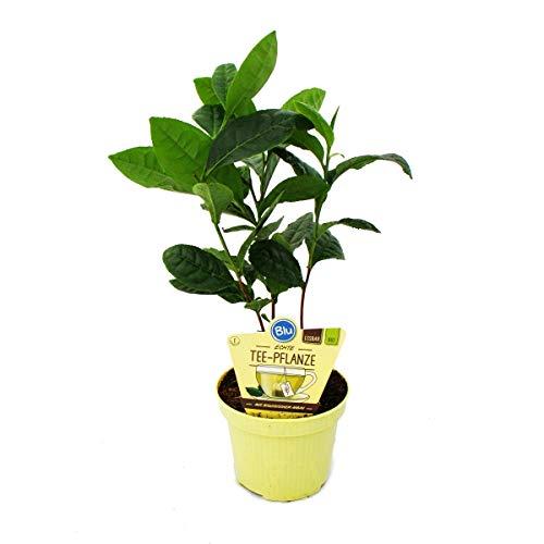 Exotenherz - Echte Tee-Pflanze - Camelia sinensis