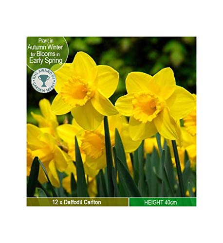 12 x Daffodil Carlton – Sunny Yellow Colour – Lovely Sweet Scent - for a Beautiful Spring Garden